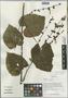 Salvia flava Forrest ex Diels, China, D. E. Boufford 32922, F