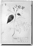 Field Museum photo negatives collection; Genève specimen of Heteronoma diversifolium DC., MEXICO, M. Sessé, Type [status unknown], G