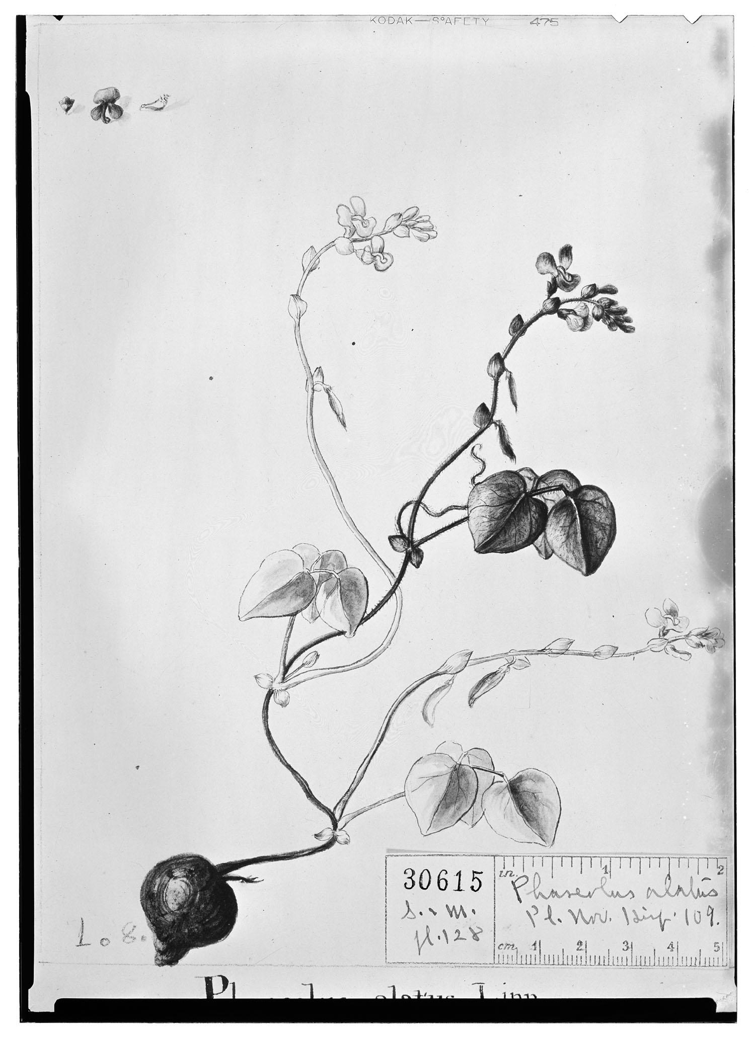 Vigna adenantha image