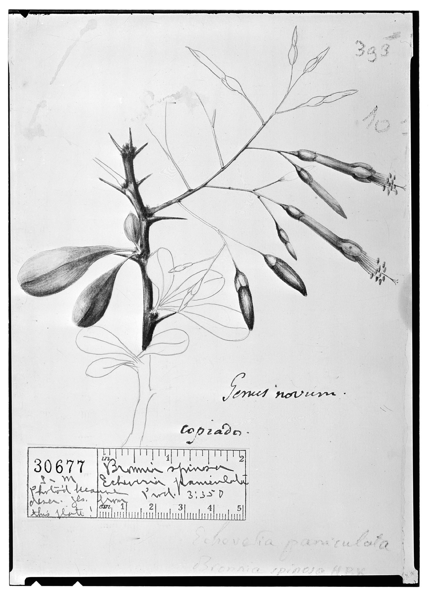 Fouquieria fasciculata image