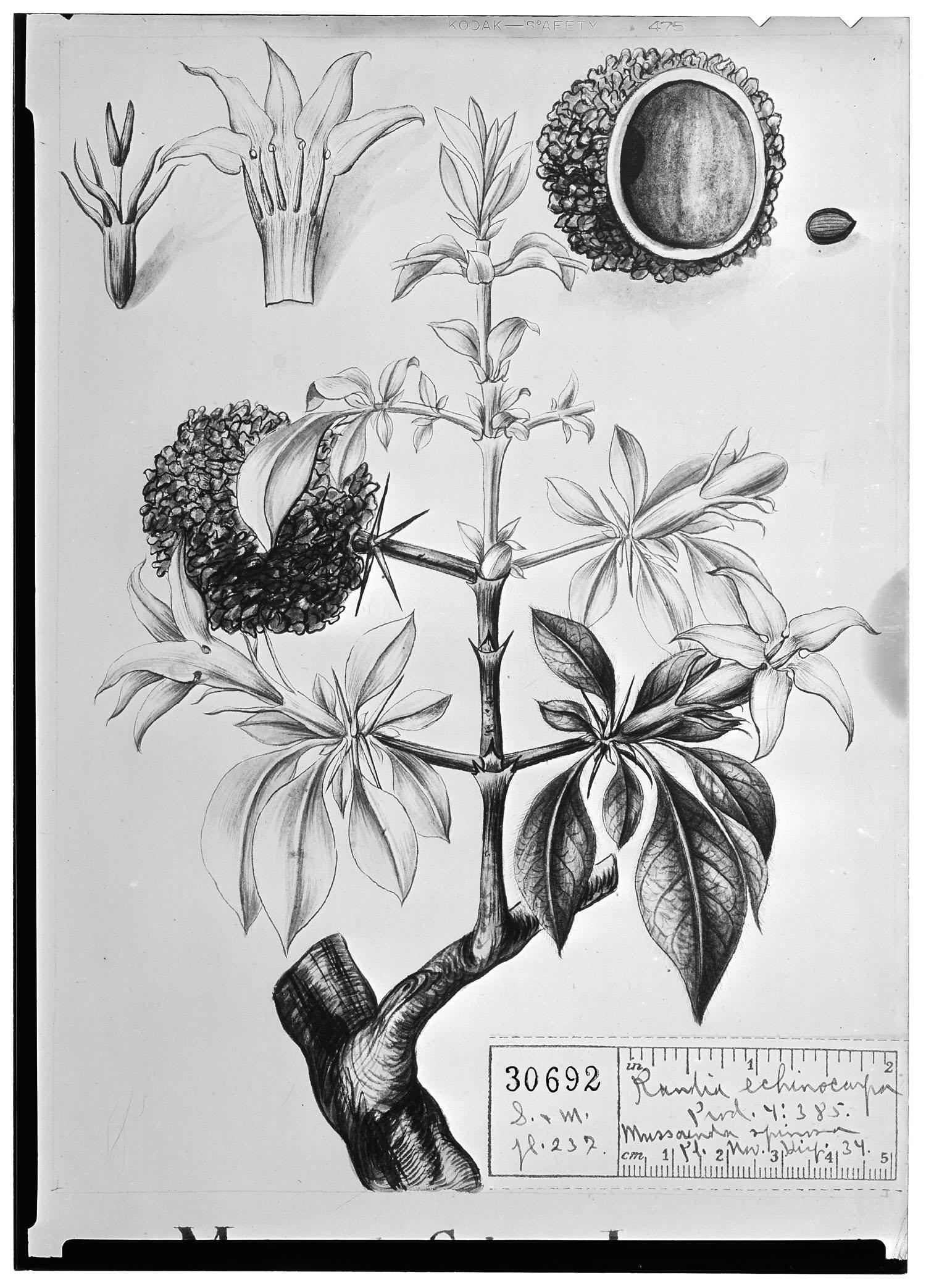 Randia echinocarpa image