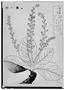 Field Museum photo negatives collection; Genève specimen ofClethra mexicana DC., MEXICO, M. Sessé, Paratype, G