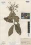 Myrcia dichasialis McVaugh, PERU, J. Schunke Vigo 134, Isotype, F
