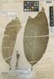 Salacia spectabilis image