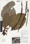 Ficus pungens Reinw. ex Blume, irim, Papua New Guinea, G. D. Weiblen WS3C0658, F