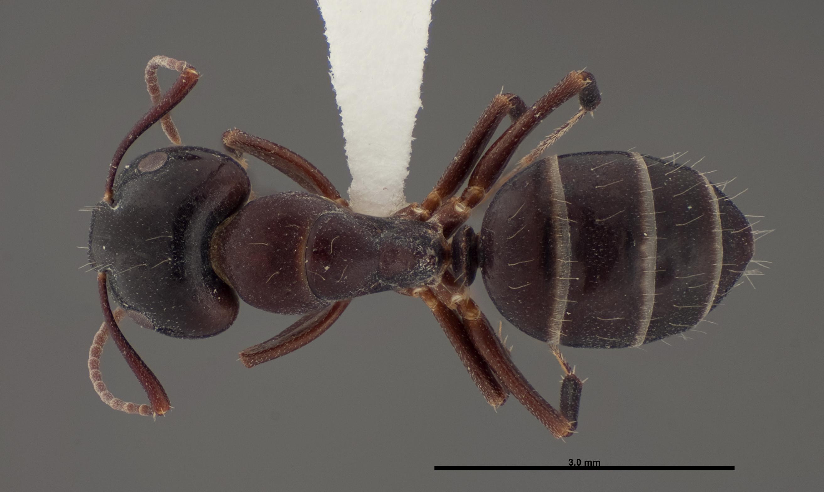 Image of Camponotus essigi