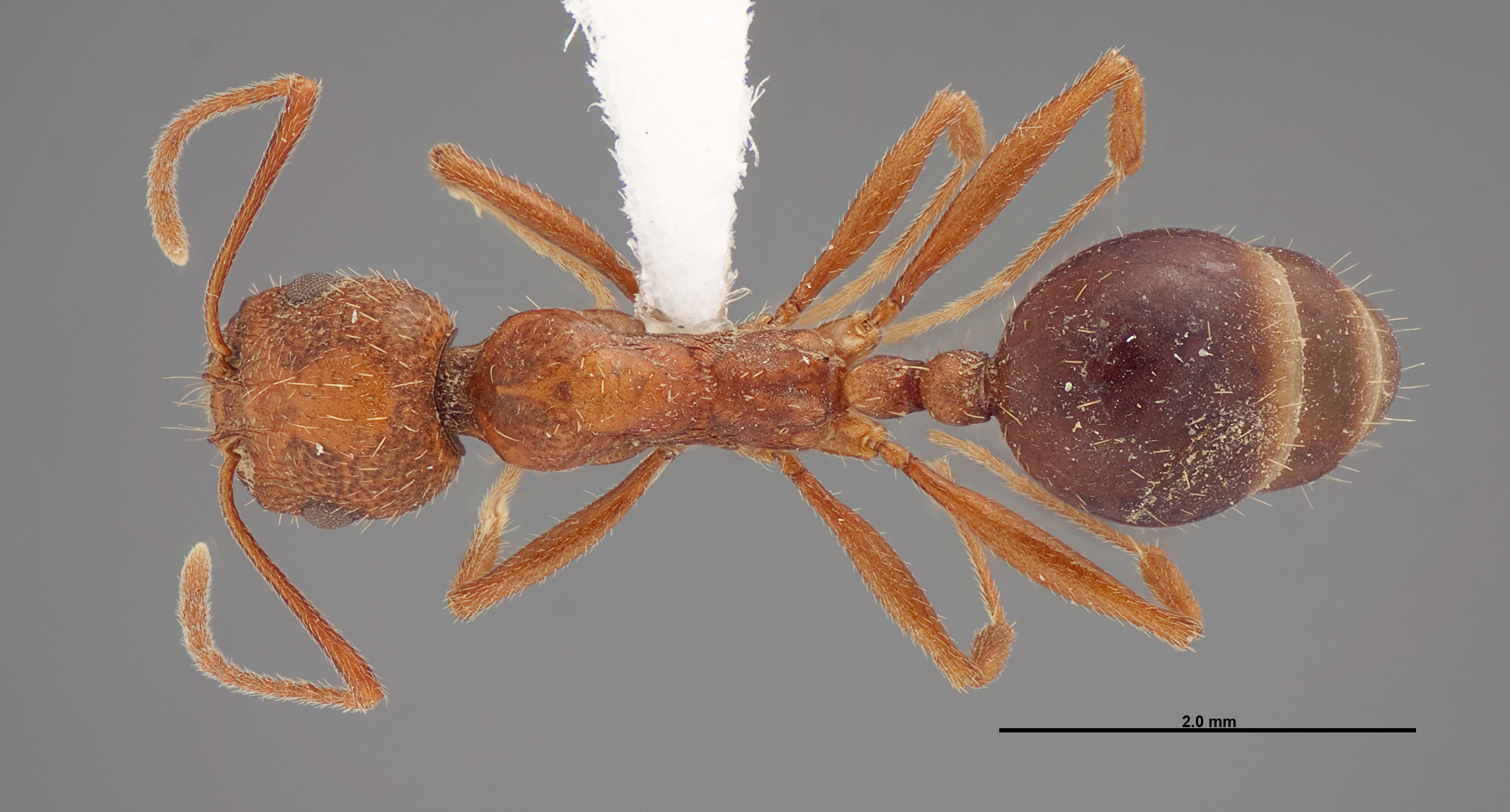 Image of Aphaenogaster uinta
