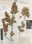 Thibaudia uniflora A. C. Sm., PERU, Y. Mexia 8319, Isotype, F