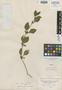 Calophanes ciliatus Nees, Peru, H. Ruíz L. s.n., Isotype, F