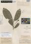 Aberemoa pedunculata Diels, PERU, A. Weberbauer 4558, Isotype, F