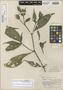 Sanchezia leucerythra Leonard & L. B. Sm., PERU, E. P. Killip 25271, Isotype, F