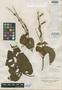 Salvia acuminata Ruíz & Pav., PERU, H. Ruíz L. s.n., Isotype, F