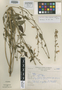 Salvia alborosea Epling & Játiva, PERU, A. López M. 3724, Isotype, F
