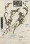 Salvia grisea Epling & Mathias, Peru, R. Ferreyra 7628, Isotype, F