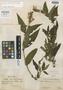 Salvia herrerae Epling, PERU, F. Herrera 3207, Isotype, F