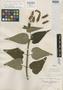 Salvia longiflora Ruíz & Pav., PERU, J. Dombey s.n., Isotype, F