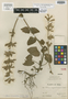 Salvia mucidistachys Epling, PERU, A. Weberbauer 6399, Holotype, F
