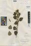 Salvia nodosa Ruíz & Pav., PERU, H. Ruíz L. s.n., Isotype, F