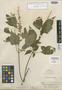 Salvia perlucida Epling, Peru, E. P. Killip 22350, Isotype, F