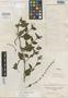 Salvia procumbens Ruíz & Pav., PERU, H. Ruíz L. s.n., Isotype, F
