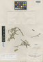 Salvia revoluta Ruíz & Pav., PERU, H. Ruíz L. s.n., Type [status unknown], F