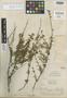 Salvia sarmentosa Epling, Peru, F. W. Pennell 13650, Holotype, F