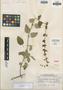 Salvia trifilis Epling, Peru, H. E. Stork 10105, Isotype, F