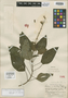 Salvia umbratica Epling, Peru, E. P. Killip 25311, Isotype, F