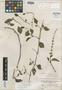 Salvia procumbens Ruíz & Pav., PERU, H. Ruíz L. 1/49, Isotype, F