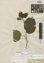 Stizophyllum inaequilaterum Bureau & K. Schum., BRAZIL, E. F. Poeppig 1827, Isotype, F