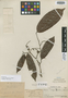 Couepia williamsii J. F. Macbr., Peru, Ll. Williams 2975, Holotype, F