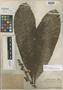 Ficus caballina Standl., PERU, Ll. Williams 2075, Holotype, F
