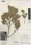 Ilex hualgayoca Loizeau & Spichiger, PERU, P. C. Hutchison 6507, Isotype, F
