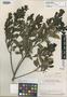 Ilex macbrideana Edwin, PERU, J. J. Wurdack 1364, Isotype, F