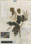 Cuellaria revoluta Ruíz & Pav., PERU, H. Ruíz L. 15/40, Isotype, F
