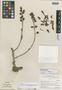 Echeveria utcubambensis Hutchison, PERU, P. C. Hutchison 4531, Isotype, F