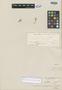 Cerastium consanguineum Wedd., PERU, H. A. Weddell 4486, Isosyntype, F