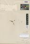 Cerastium mucronatum Wedd., PERU, H. A. Weddell 4416, Isosyntype, F