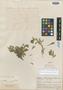 Cerastium mucronatum Wedd., BOLIVIA, G. Mandon 977, Isosyntype, F
