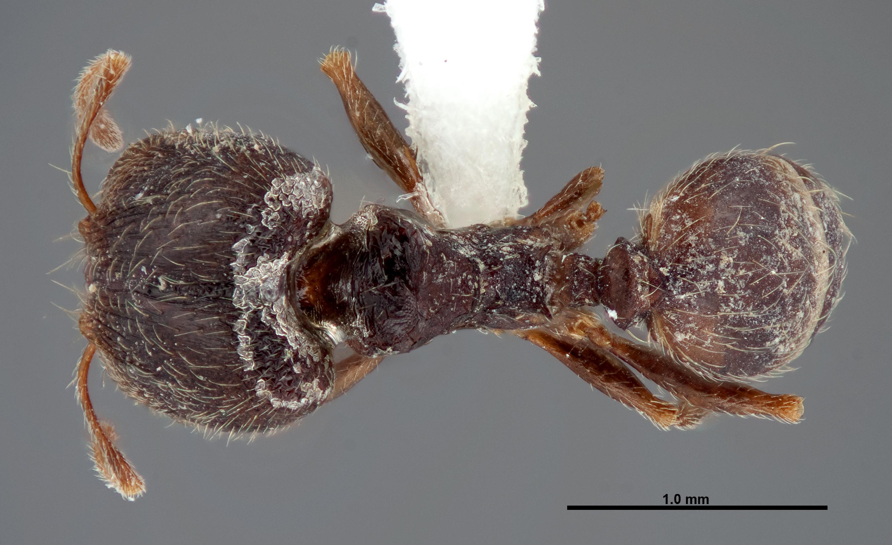 Image of Pheidole pilifera