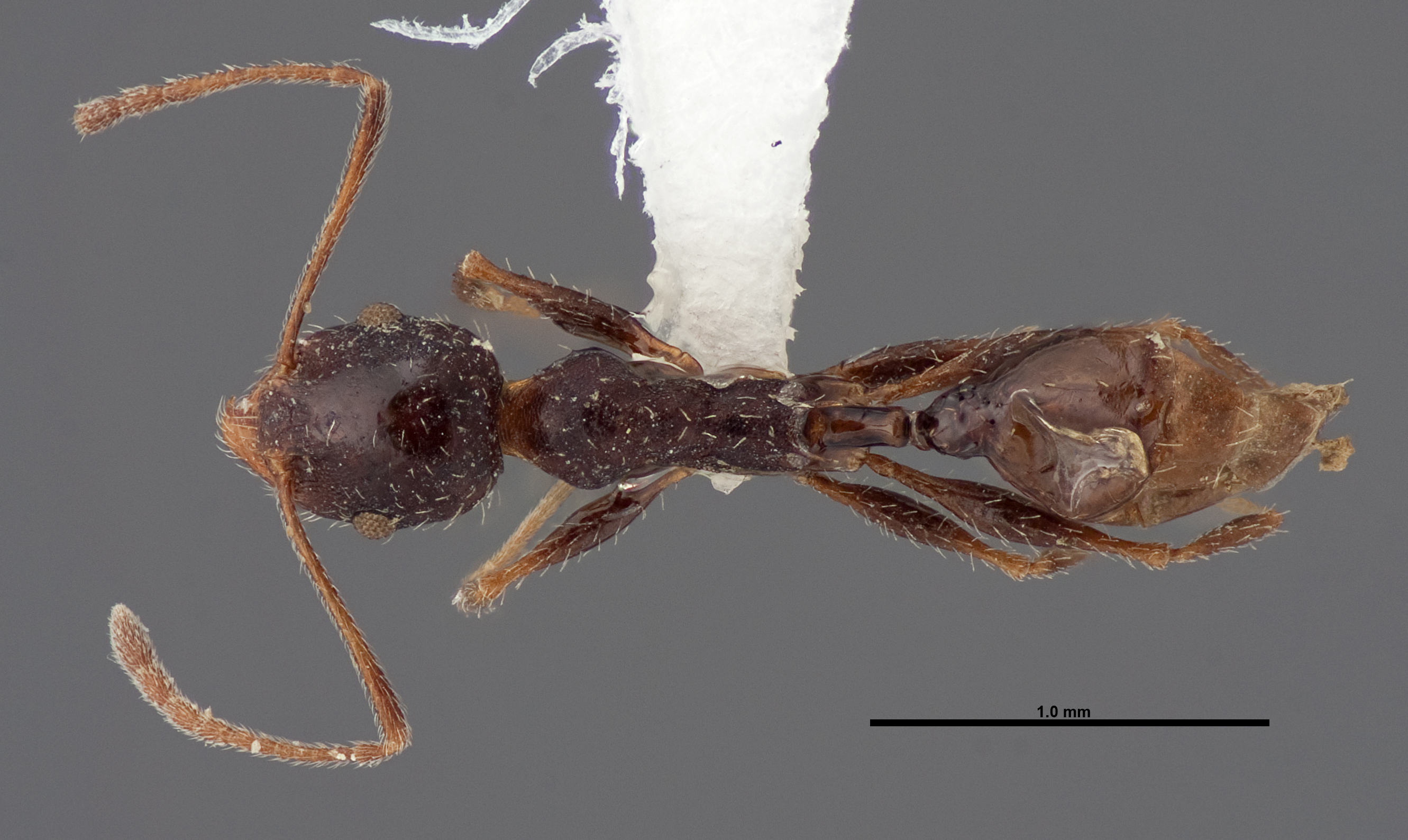 Image of Pheidole clydei