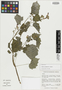 Salvia acerifolia B. L. Turner, Mexico, C. P. Cowan 5646, Isotype, F