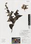 Salvia amethystina subsp. vetasiana Fern. Alonso, Colombia, J. L. Fernández-Alonso 11688, Isotype, F