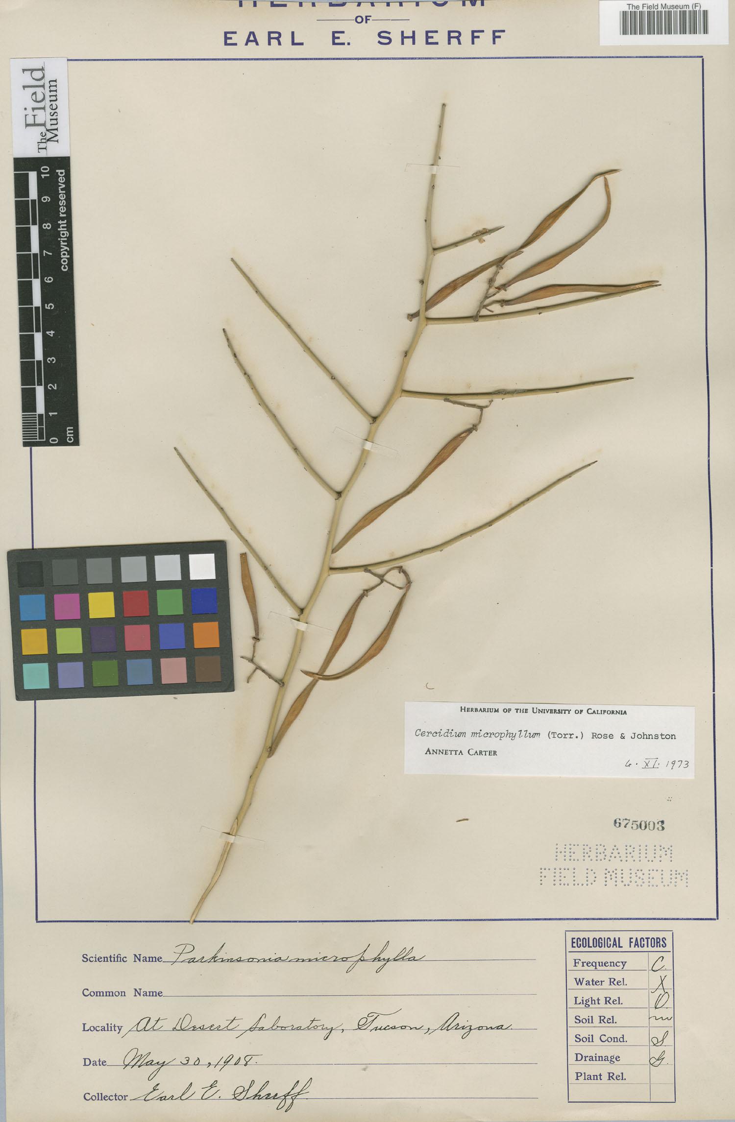 Parkinsonia microphylla image
