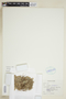 Drosera rotundifolia L., U.S.A., S. F. Glassman 4401, F