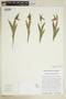Cypripedium candidum image