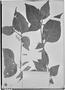 Field Museum photo negatives collection; Genève specimen of Solanum polytrichostylum Bitter, BOLIVIA, O. Buchtien 463, Type [status unknown], G