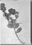 Field Museum photo negatives collection; Genève specimen of Ilex scopulorum var. caracasana Loes., VENEZUELA, N. Funck 414, Type [status unknown], G
