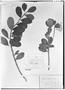 Field Museum photo negatives collection; Genève specimen of Ilex villosula Loes., PERU, A. Mathews, Type [status unknown], G