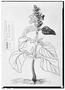Field Museum photo negatives collection; Genève specimen of Salvia parquerensis, MEXICO, M. Sess?, Type [status unknown], G